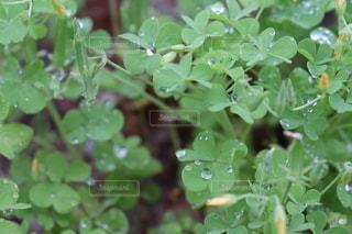 雨上がりの草クローズアップの写真・画像素材[3611407]