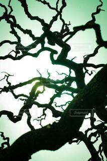 冬空に映える樹木のシルエットの写真・画像素材[3600018]