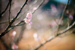 梅の蕾の写真・画像素材[3600029]