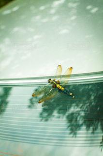 車のリアガラスにとまるトンボの写真・画像素材[3600026]