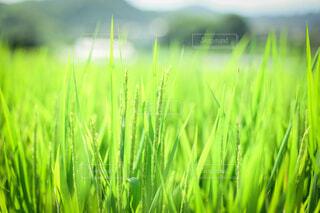 青い稲穂の写真・画像素材[3646345]
