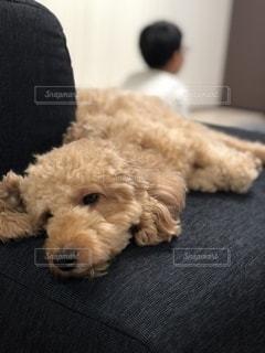 退屈そうな犬の写真・画像素材[3599346]