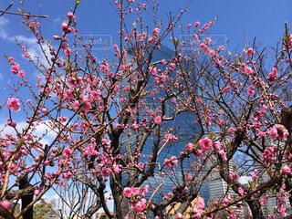 大阪城公園の紅梅の写真・画像素材[2169998]
