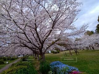 日岡山の桜の写真・画像素材[3746549]