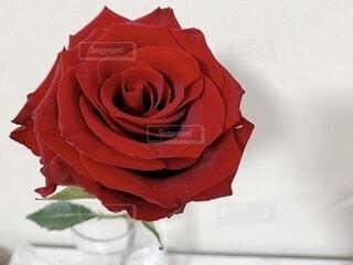 薔薇のクローズアップの写真・画像素材[3794189]