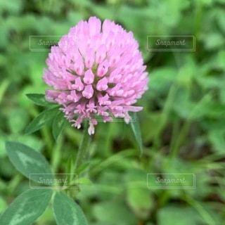 緑の葉のピンクの花 クローバーの写真・画像素材[3635032]