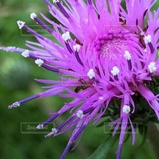 花のクローズアップ アザミの写真・画像素材[3637919]