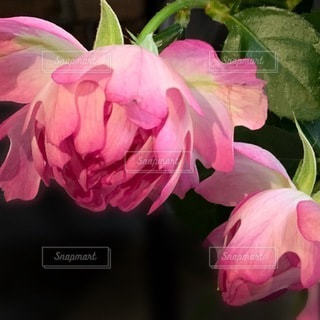 花のクローズアップ 薔薇の写真・画像素材[3638726]