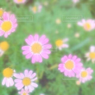 花のクローズアップ マーガレットの写真・画像素材[3655217]