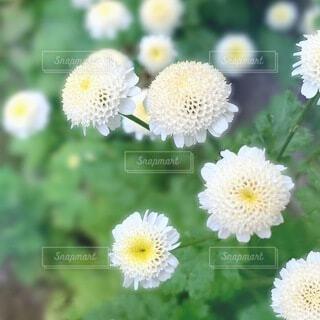 花のクローズアップ 菊の写真・画像素材[3655674]