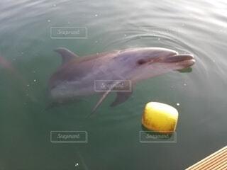 イルカの写真・画像素材[3623308]