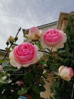 空を見上げる薔薇の写真・画像素材[3623443]
