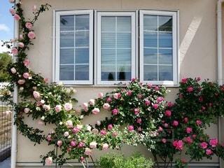 窓枠のつるバラの写真・画像素材[3623464]