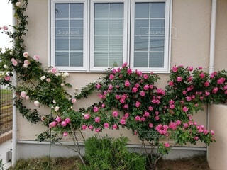 窓の前のつるバラの写真・画像素材[3623461]