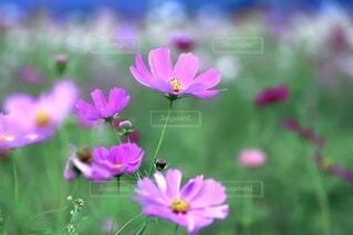 ピンクのコスモスの写真・画像素材[3662206]