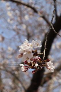 花 桜の写真・画像素材[3622637]