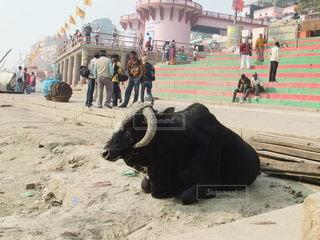 ガンジスの牛の写真・画像素材[3633452]