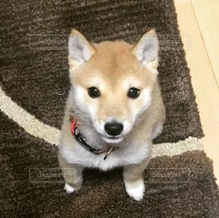 茶色と白の小型犬の写真・画像素材[1827564]