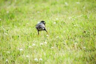 草で覆われた野原の上に立っている鳥の写真・画像素材[3632765]