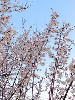 3月の桜の写真・画像素材[4277988]