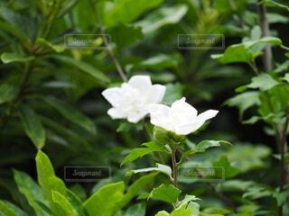 白い花のクローズアップの写真・画像素材[3685280]