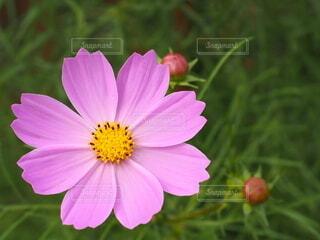 コスモスの花のクローズアップの写真・画像素材[3752408]