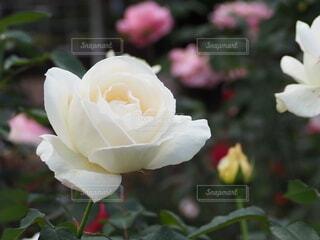 白い薔薇のクローズアップの写真・画像素材[3887346]