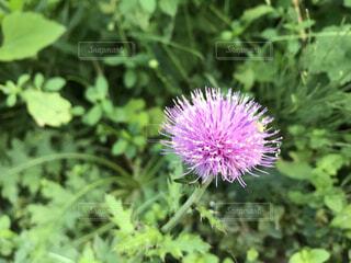 紫色の花の写真・画像素材[3783835]