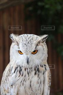 秋吉台サファリランドのフクロウの写真・画像素材[3637809]