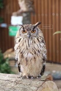 秋吉台サファリランドのフクロウの写真・画像素材[3637814]