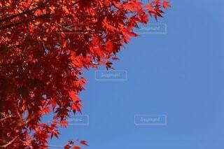 山口県 長門峡の紅葉の写真・画像素材[3645087]