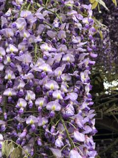 山口県 藤の花の写真・画像素材[3647574]
