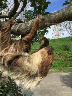 山口県 秋吉台サファリランドのナマケモノの写真・画像素材[3654755]