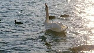 美しい白鳥の写真・画像素材[3644932]