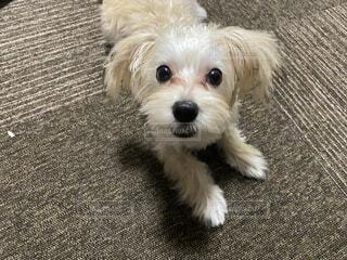 小さな犬の写真・画像素材[3666464]