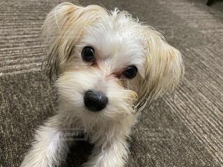 小さな茶色の犬の写真・画像素材[3667075]