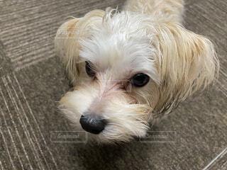 小さな茶色の犬の写真・画像素材[3667074]