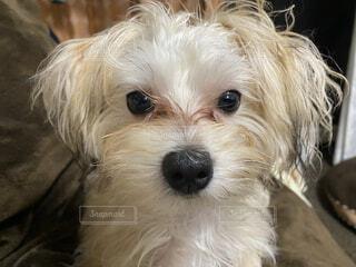 座っている小さな犬の写真・画像素材[3691703]