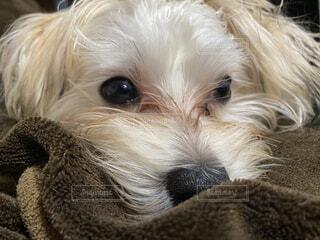 犬のクローズアップの写真・画像素材[3691704]
