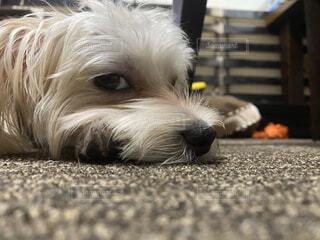 犬ジロ目の写真・画像素材[3709128]