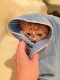 猫の写真・画像素材[152223]