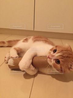 横になって、カメラを見ている猫の写真・画像素材[1293983]