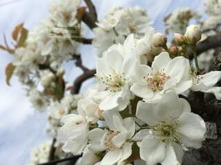 美しい梨の花の写真・画像素材[3673596]