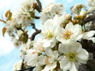 きれいな白い梨の花の写真・画像素材[3703671]