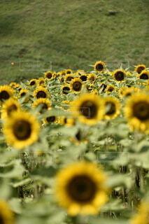花のクローズアップの写真・画像素材[3652454]