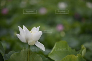 蓮の花の写真・画像素材[3701890]