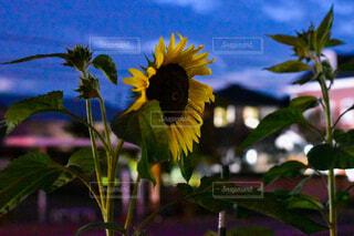 夜のひまわり🌻の写真・画像素材[3662499]