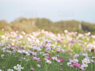 広大なコスモス畑の写真・画像素材[4300725]