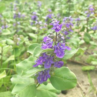 植物の紫色の花のクローズアップの写真・画像素材[3663497]