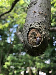 木の枝とダンゴムシの写真・画像素材[3659933]